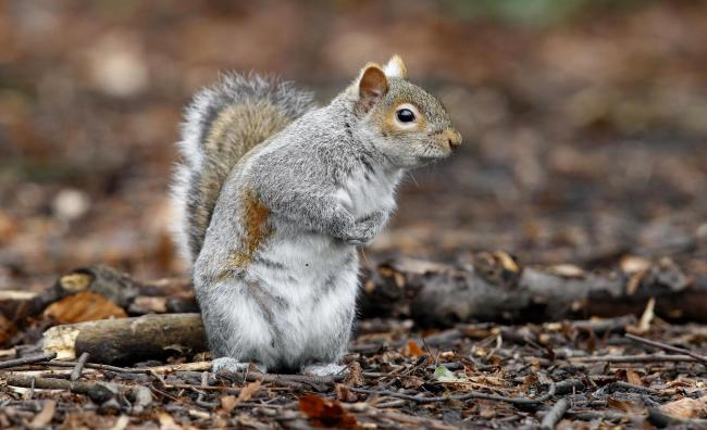 Embargoed to 0001 Tuesday February 20..File photo dated 08/03/13 of a grey squirrel, as researchers said that grey squirrels could have taken over from native red squirrels in the UK due to their problem-solving powers. PRESS ASSOCIATION Photo. Issue date