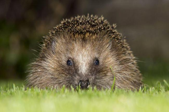 Dehydrated: Hedgehogs and bats are suffering in the heat, says Knoxwood's Emma Scott