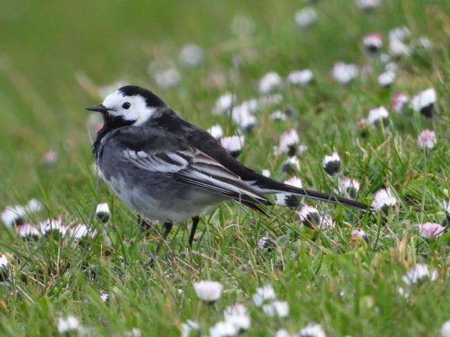 Lisa Kinghorn spied a pied wagtail amongst the daisies.