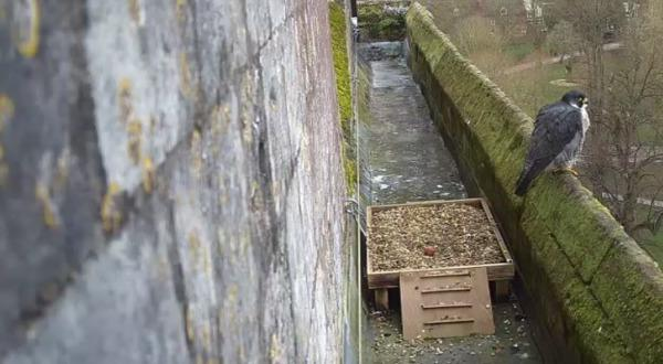 The first egg laid of 2020 by peregrine at Winchester Cathedral