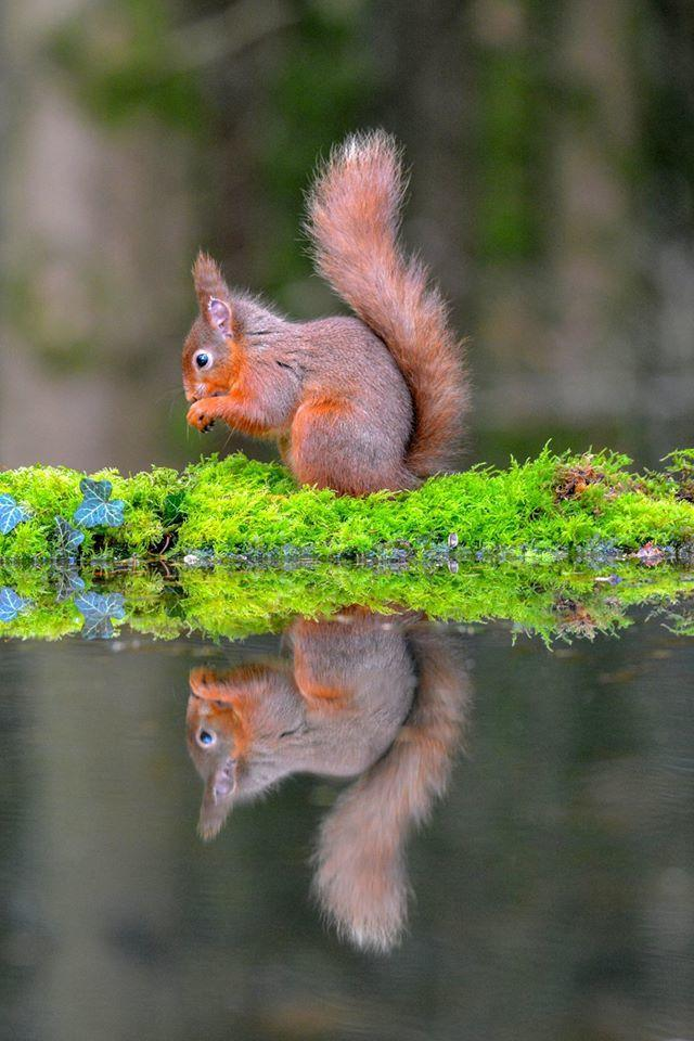 News 30 camclub Paul Wharton Seeing double A red squirrel reflecting in water