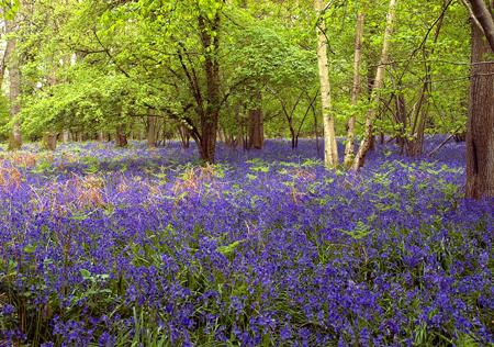 Bluebell wood near Mottisfont