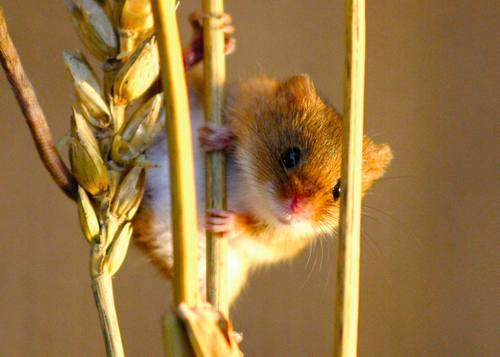 Romsey Advertiser: Numbers in decline: The harvest mouse