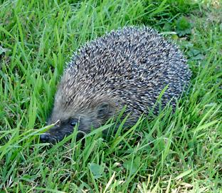 Romsey Advertiser: A    hedgehog