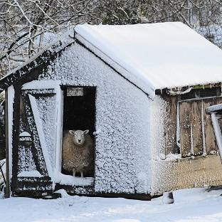 A sheep looks out from its snow-covered shed in Penistone, South Yorkshire