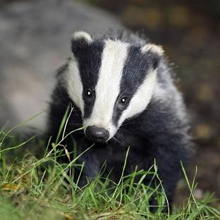 Environment Secretary Owen Paterson said badger culls are likely to begin later this year