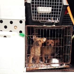 Caged puppies filmed during an undercover investigation by the Channel 4 programme Dispatches
