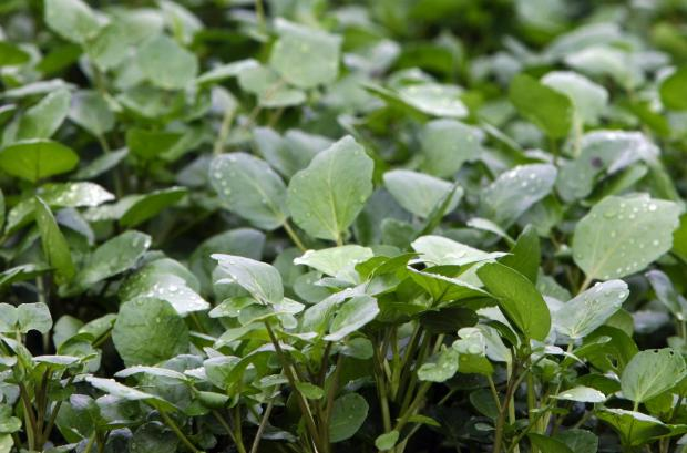 Watercress: Hampshire misses out on protected food status