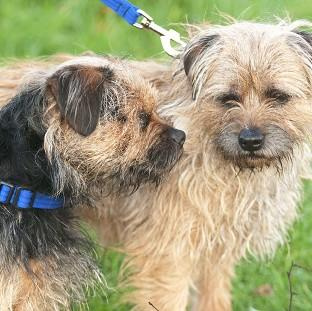 Two-year-old Border Terrier Lucky (left) with his father Scruff who acts as his son's guide dog as Lucky was born without retinas and has never been able to see (Nick McGowan-Lowe/PDSA/PA)