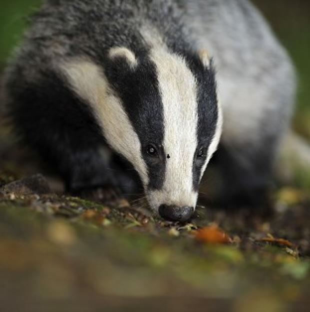 Romsey Advertiser: Defra is exploring contraception for badgers as a way of keeping numbers down