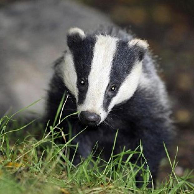 Romsey Advertiser: Pilot badger culls in Somerset and Gloucestershire caused suffering to the animals, an expert panel has found