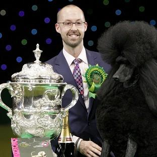 Two-year-old standard poodle Ricky with his han