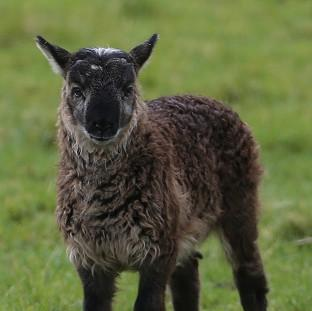 Romsey Advertiser: The as yet unnamed geep (a cross breed of a goat and a sheep) born on Paddy Murphy's farm in Ballymore Eustace, Co Kildare