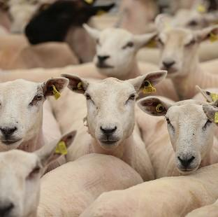 The ethics of the sheep experiments have been called into question by campaigners