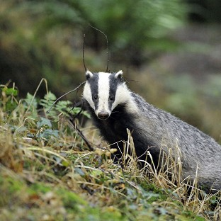 Campaigners have renewed criticism of the badger cull following the release of new statistics.