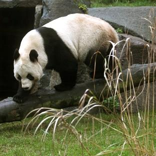 Experts at Edinburgh Zoo have been monitoring giant panda Tian Tian since she was artificially inseminated on April 13
