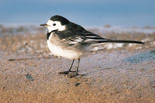 Romsey Advertiser: A pied wagtail